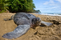 Plage Tortue Luth