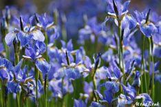 fete iris florence